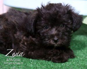 Zena, female Schnoodle puppy