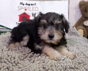 Zola, female Schnoodle puppy